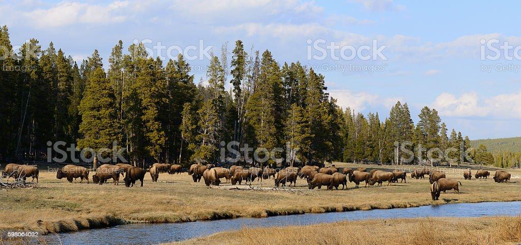 Buffalo Herd in Yellowstone National Park stock photo