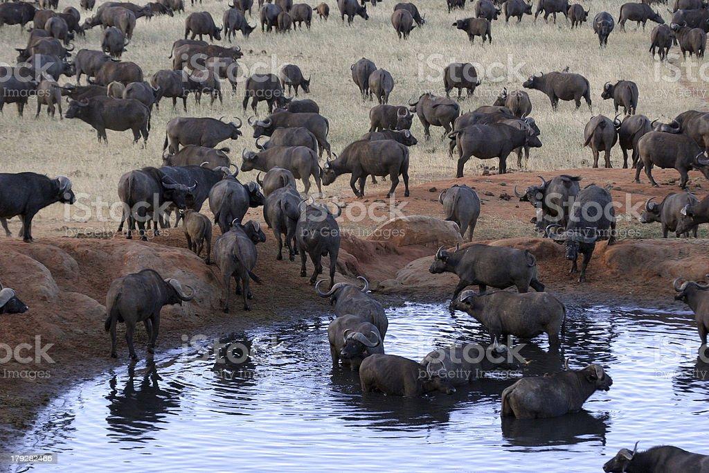 Buffalo Herd royalty-free stock photo