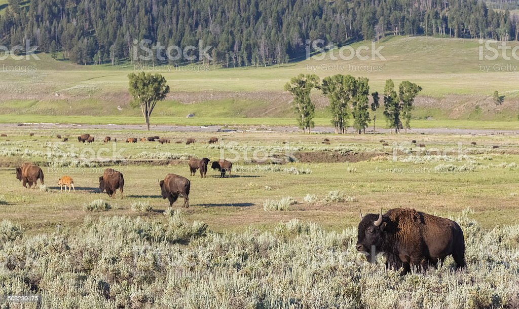 Buffalo Herd stock photo