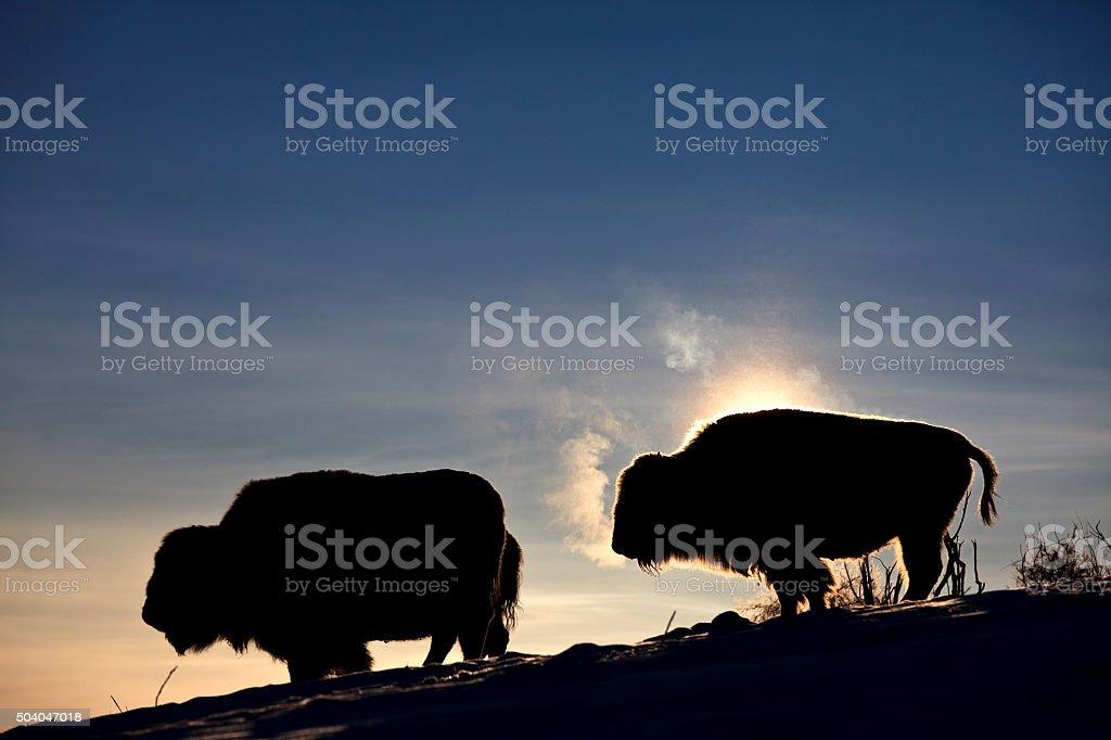 Buffalo Herd Silhouette in Winter stock photo