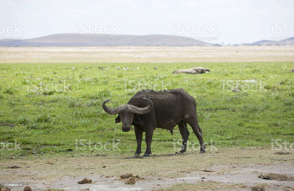 Buffalo in Amboseli stock photo