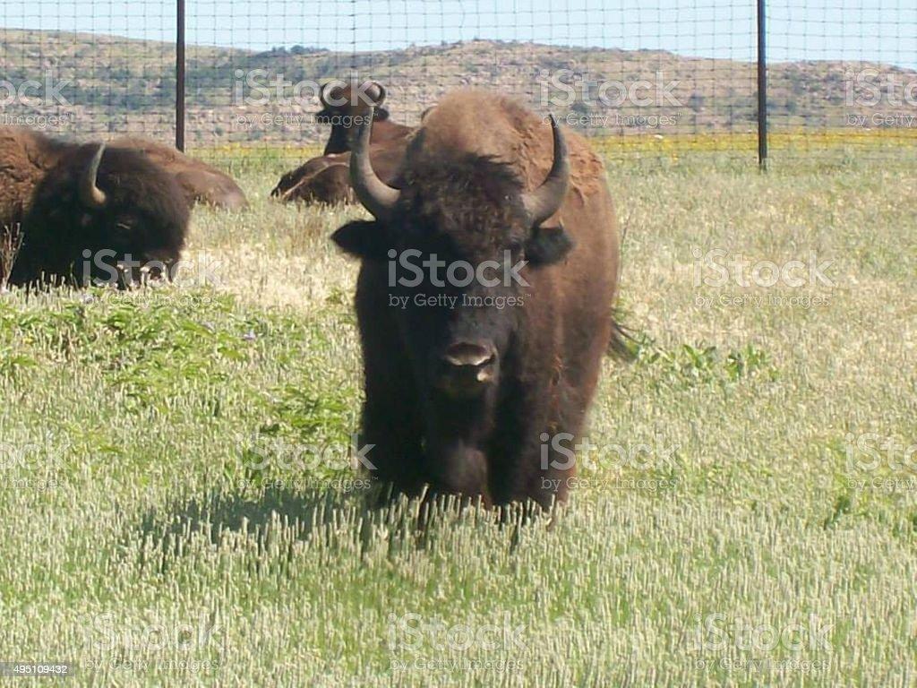 Buffalo in an open range stock photo