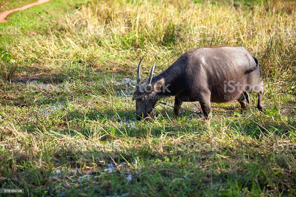 buffalo in grass field stock photo