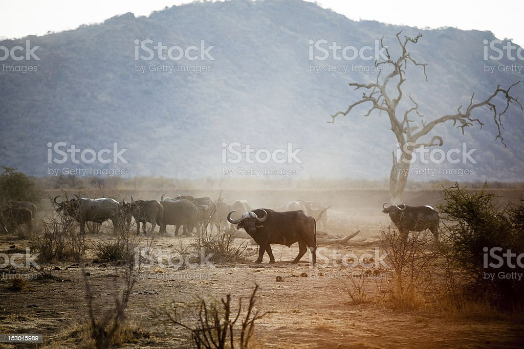 Buffalo in Madikwe stock photo
