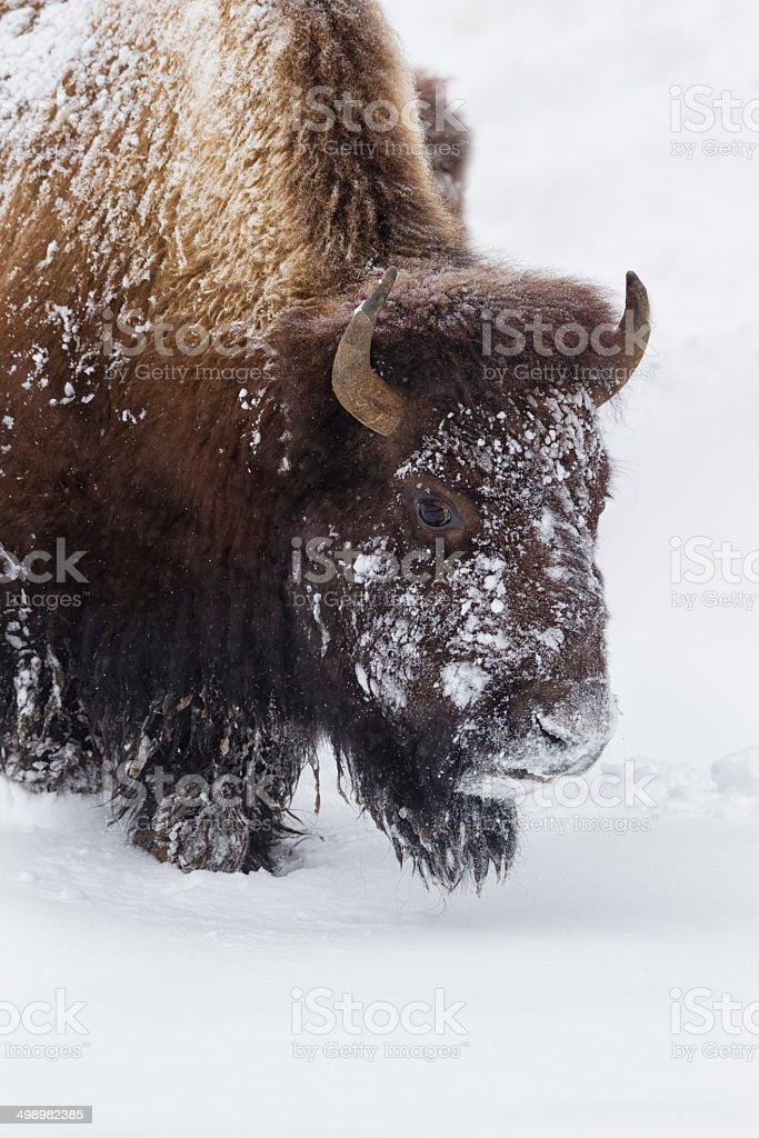 Buffalo in Snow Storm stock photo
