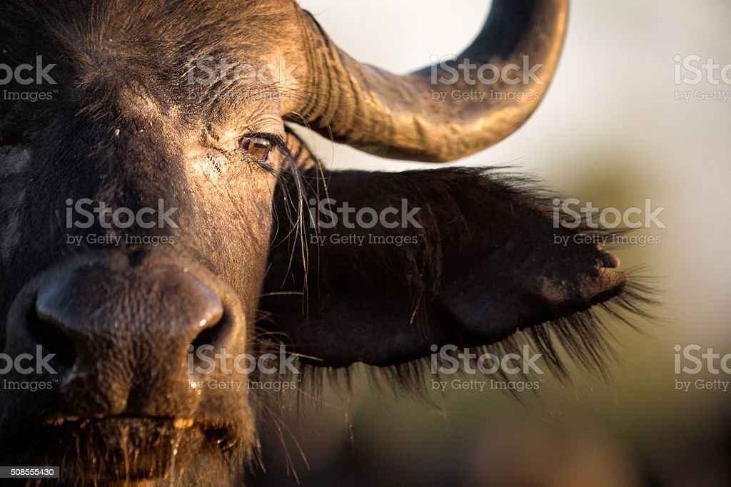 Buffalo in the bushveld stock photo