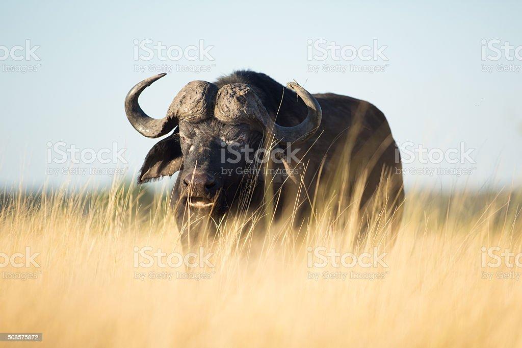 Buffalo in the bushveld stock photo