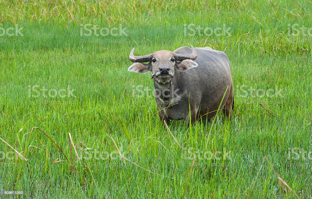 Buffalo in the green fields. stock photo