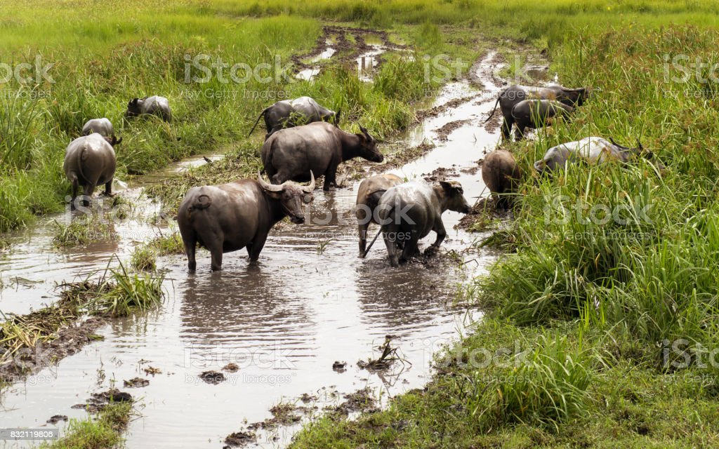 Buffalo in the meadow stock photo