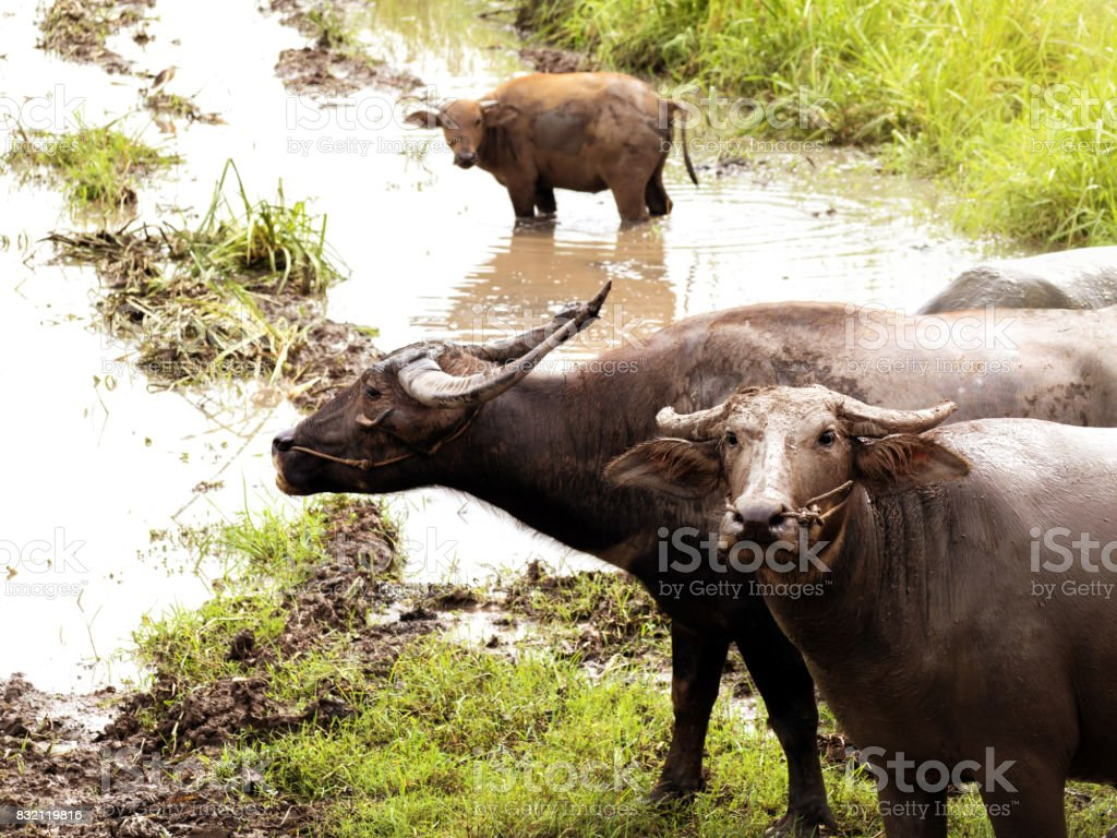 Buffalo in the meadow with water stock photo