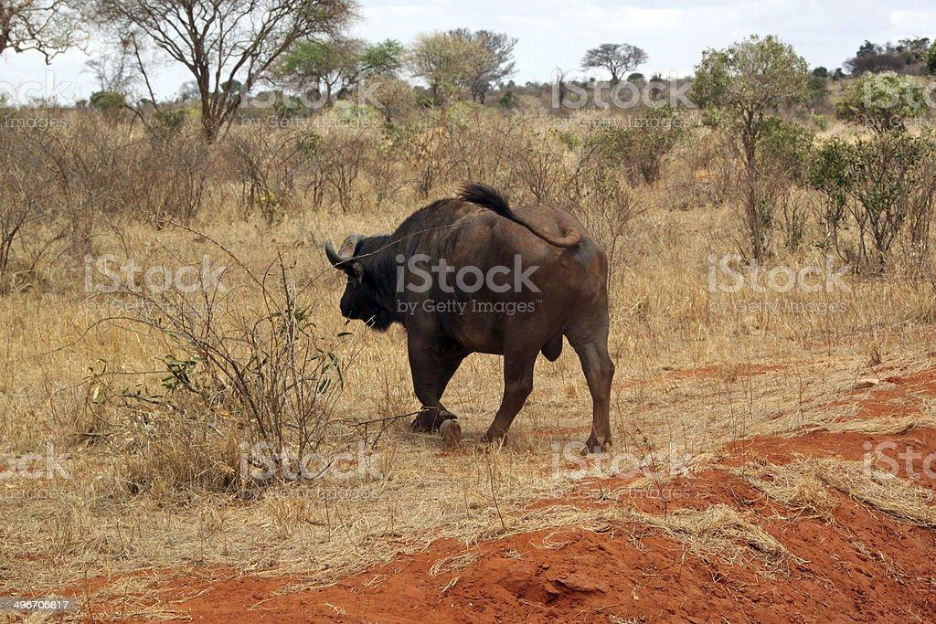 Buffalo in the savannah of Tsavo park, Kenya, East Africa royalty-free stock photo