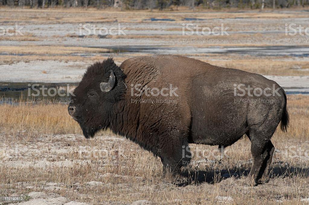Buffalo in the wild royalty-free stock photo