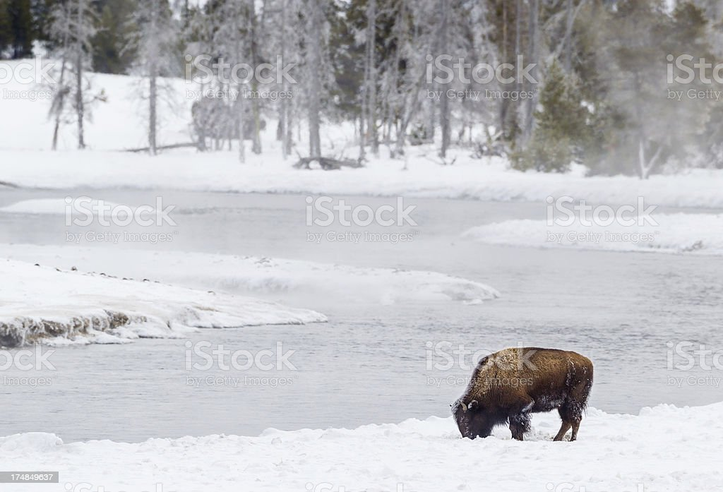 Buffalo in Winter royalty-free stock photo