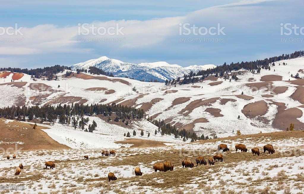 Buffalo in Yellowstone stock photo
