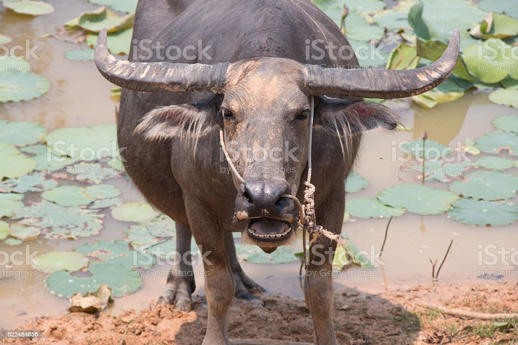 Buffalo is Life Machine of Farmer at canal. stock photo