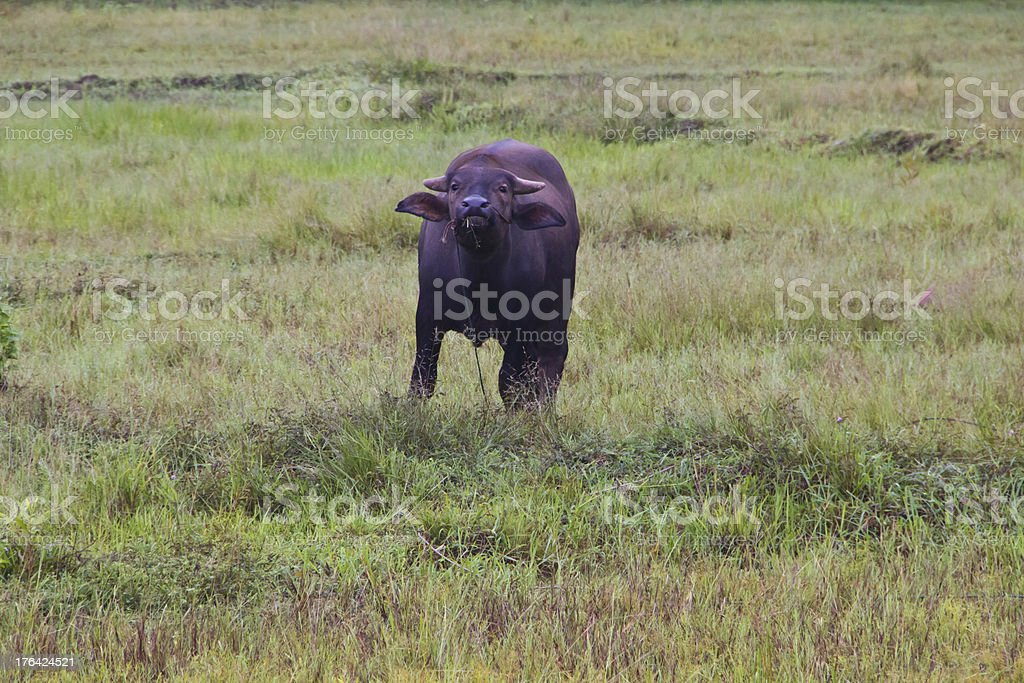 Buffalo is stand in field stock photo