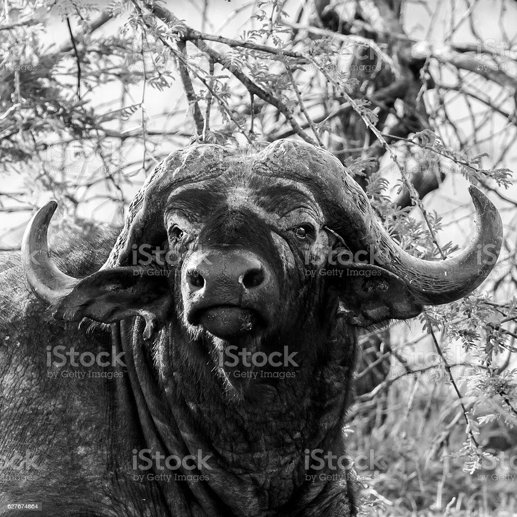 Buffalo Looking stock photo
