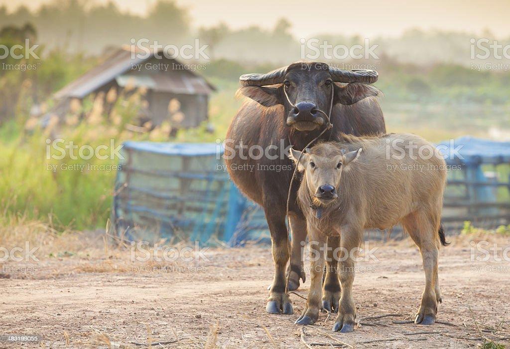 Buffalo mom and baby stock photo