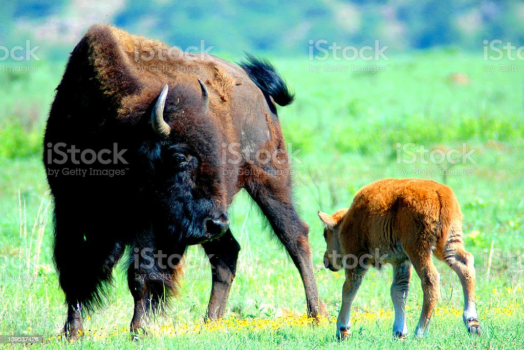 Buffalo Mom royalty-free stock photo