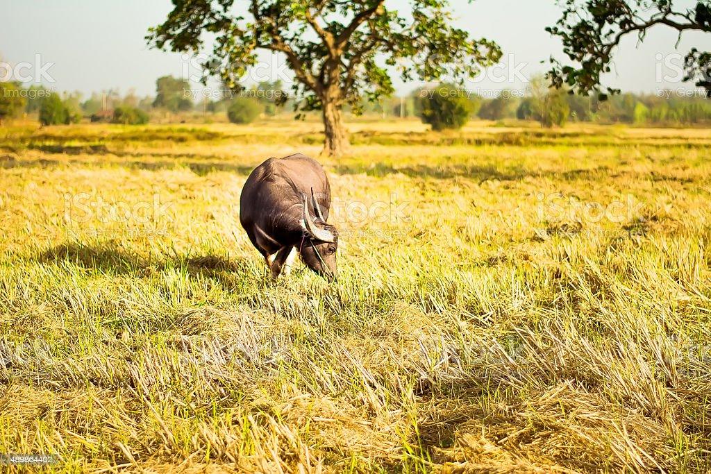buffalo nature stock photo