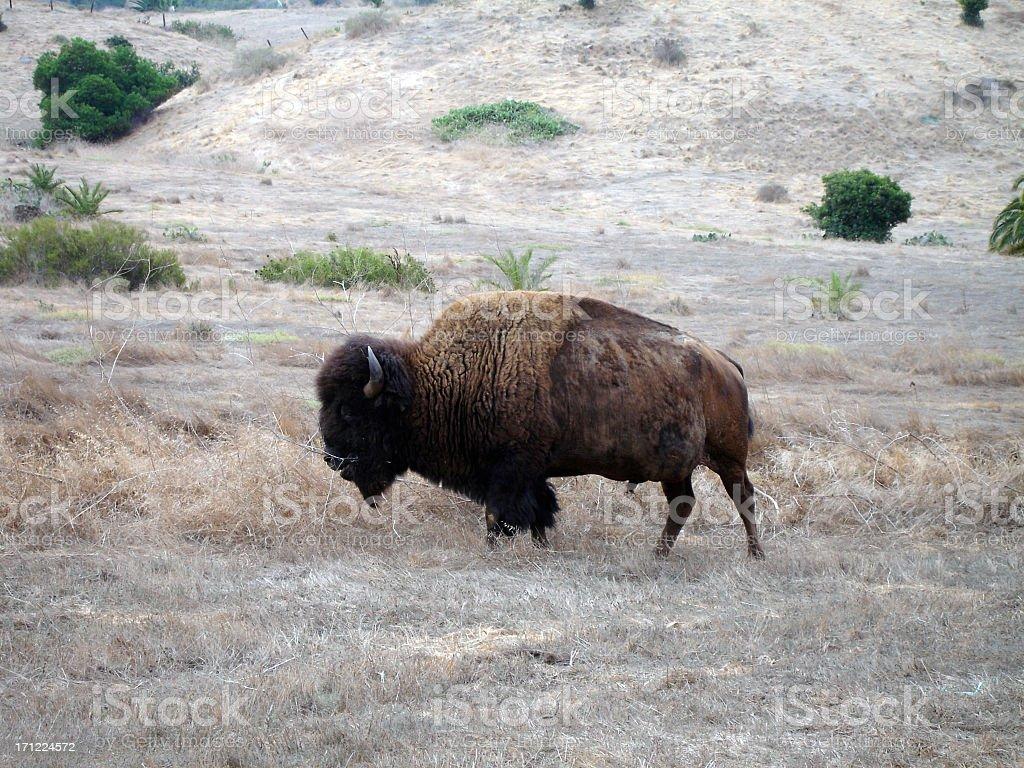 Buffalo on Catalina stock photo
