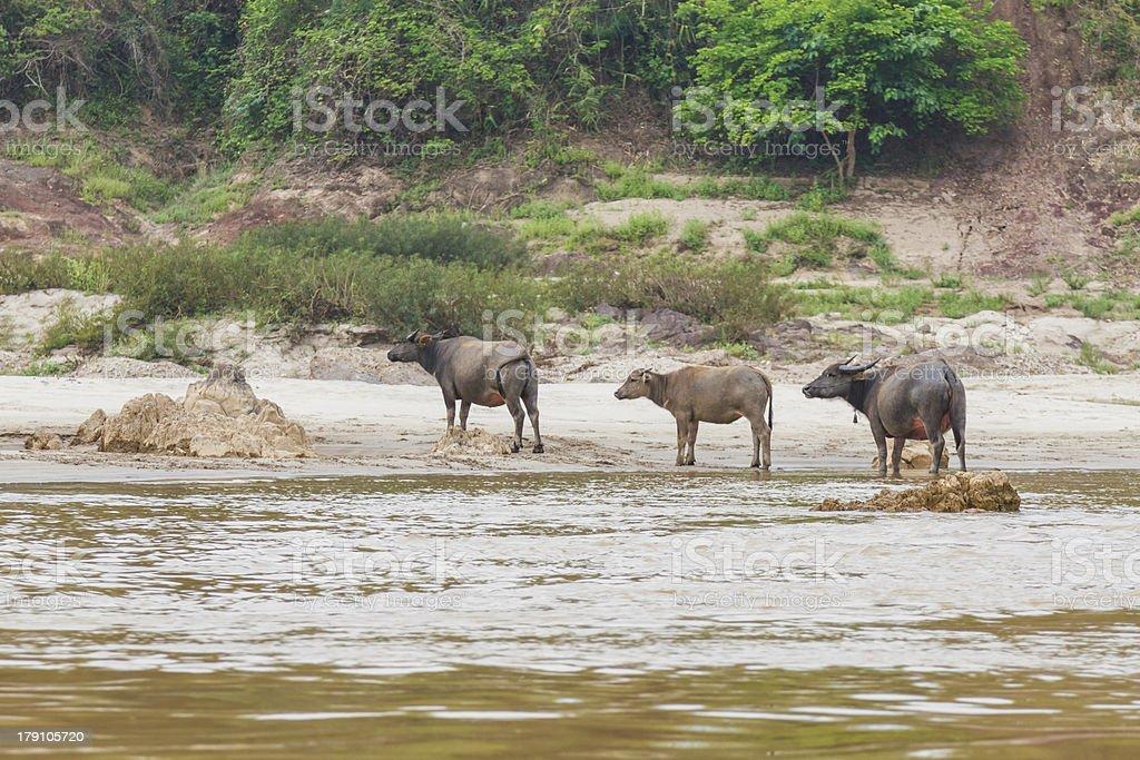 Buffalo on Mekong riverside royalty-free stock photo