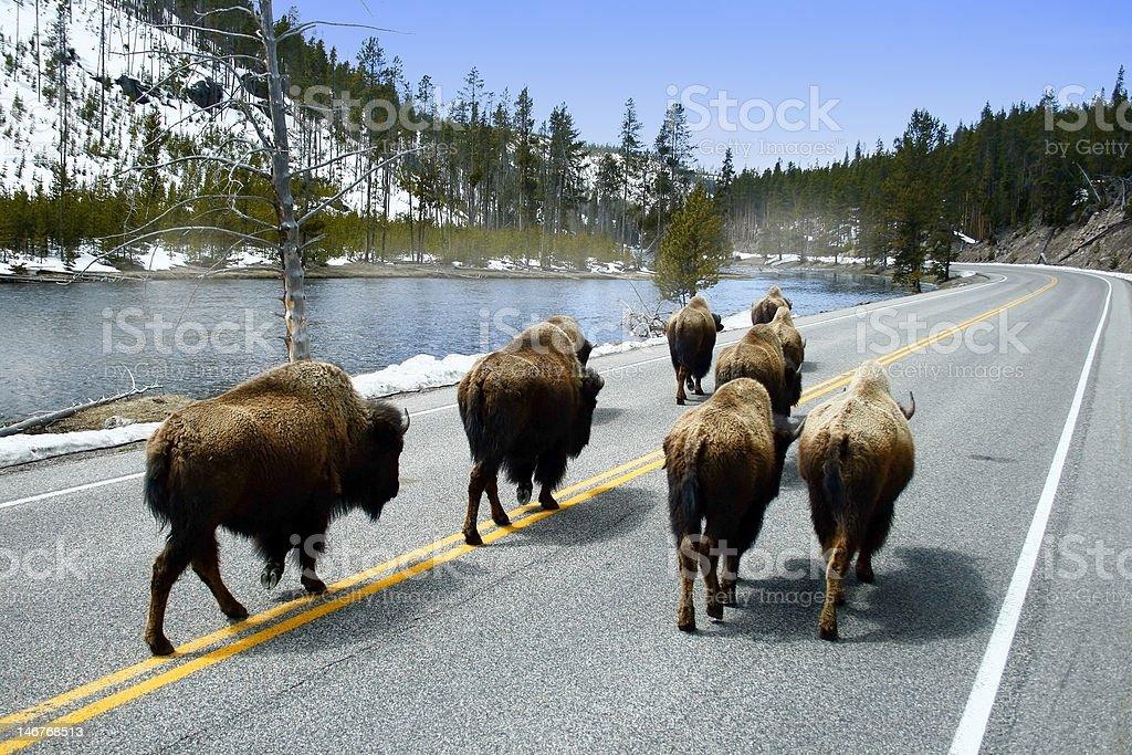 Buffalo on Road stock photo