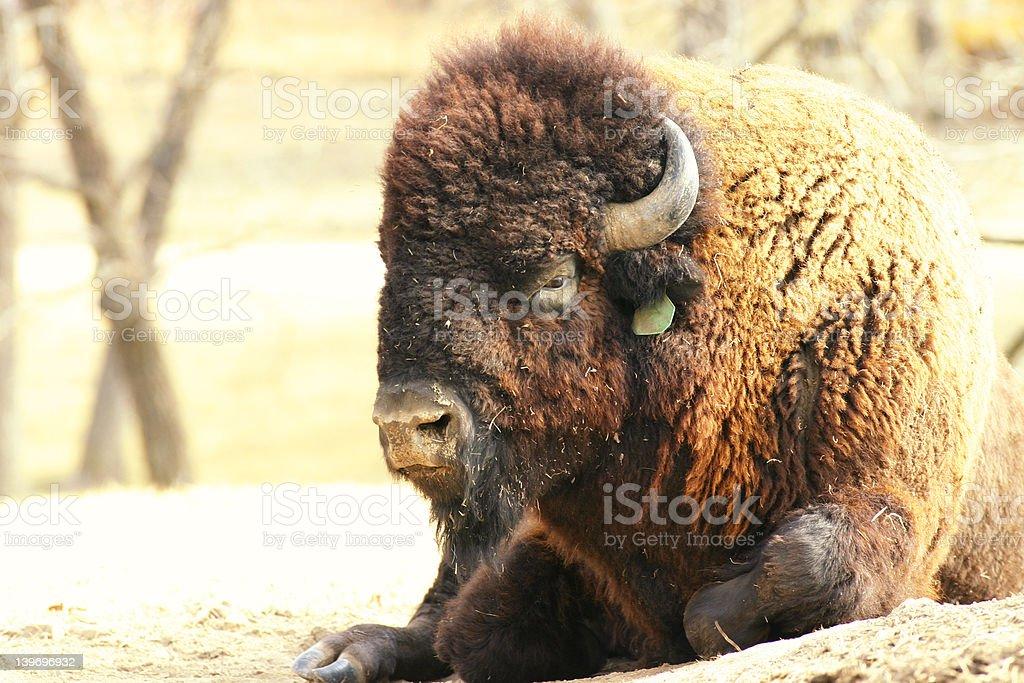 Buffalo on the prarie stock photo