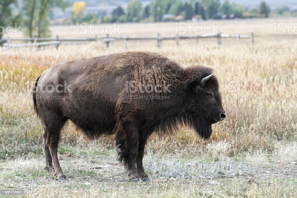 Buffalo or bison grazing in Grand Teton National Park stock photo
