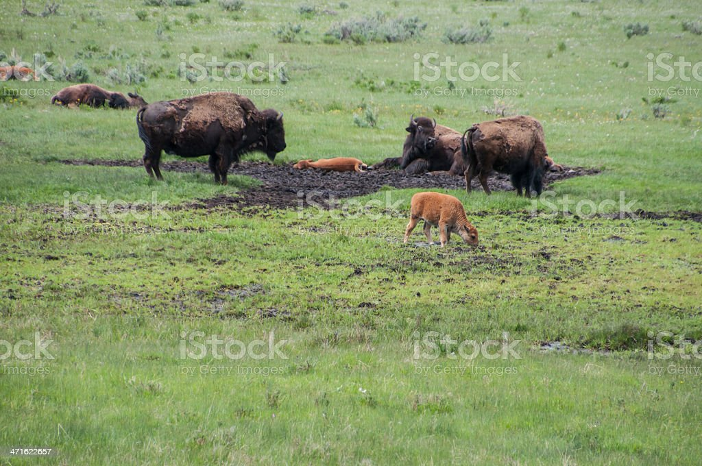 Buffalo or Bison Mud Wallow with calves stock photo