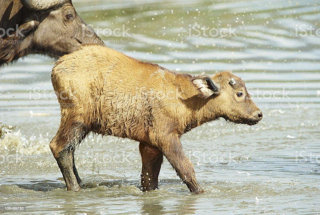 Buffalo (Syncerus caffer) royalty-free stock photo