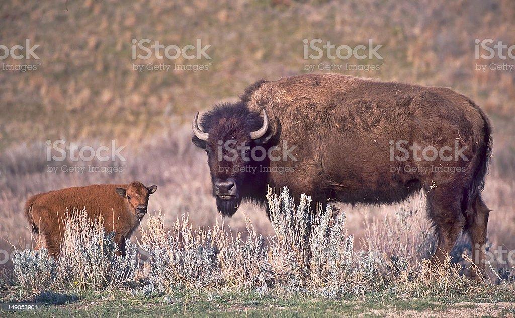 Buffalo royalty-free stock photo