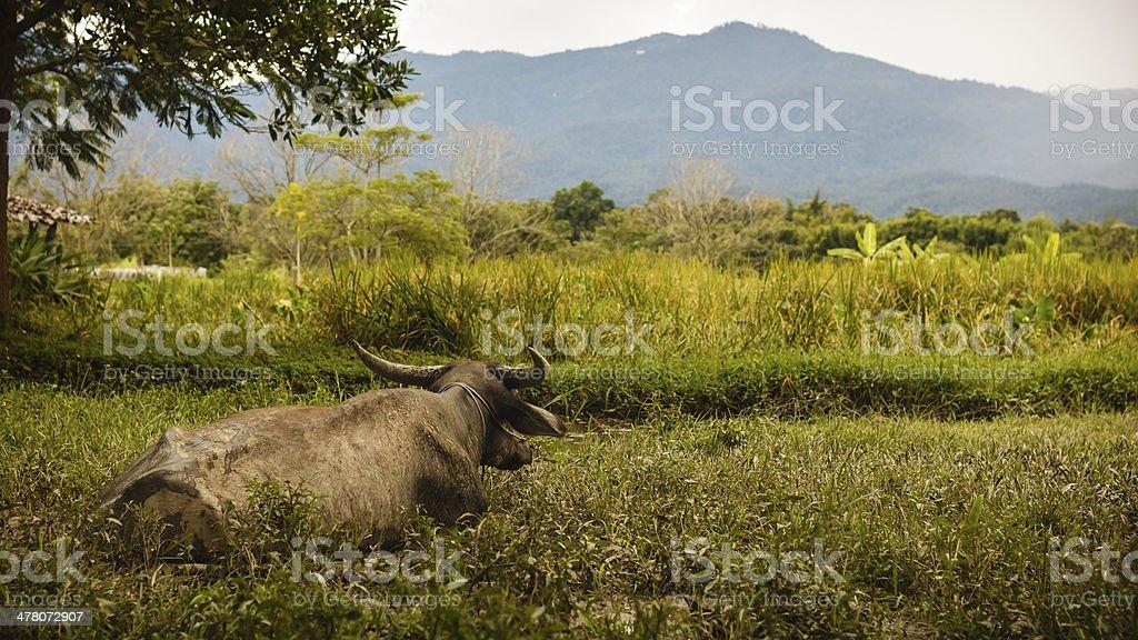 Buffalo foto stock royalty-free