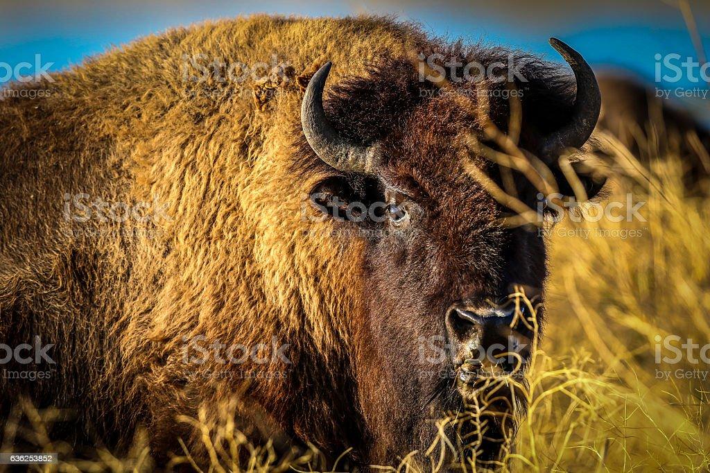 Buffalo stock photo