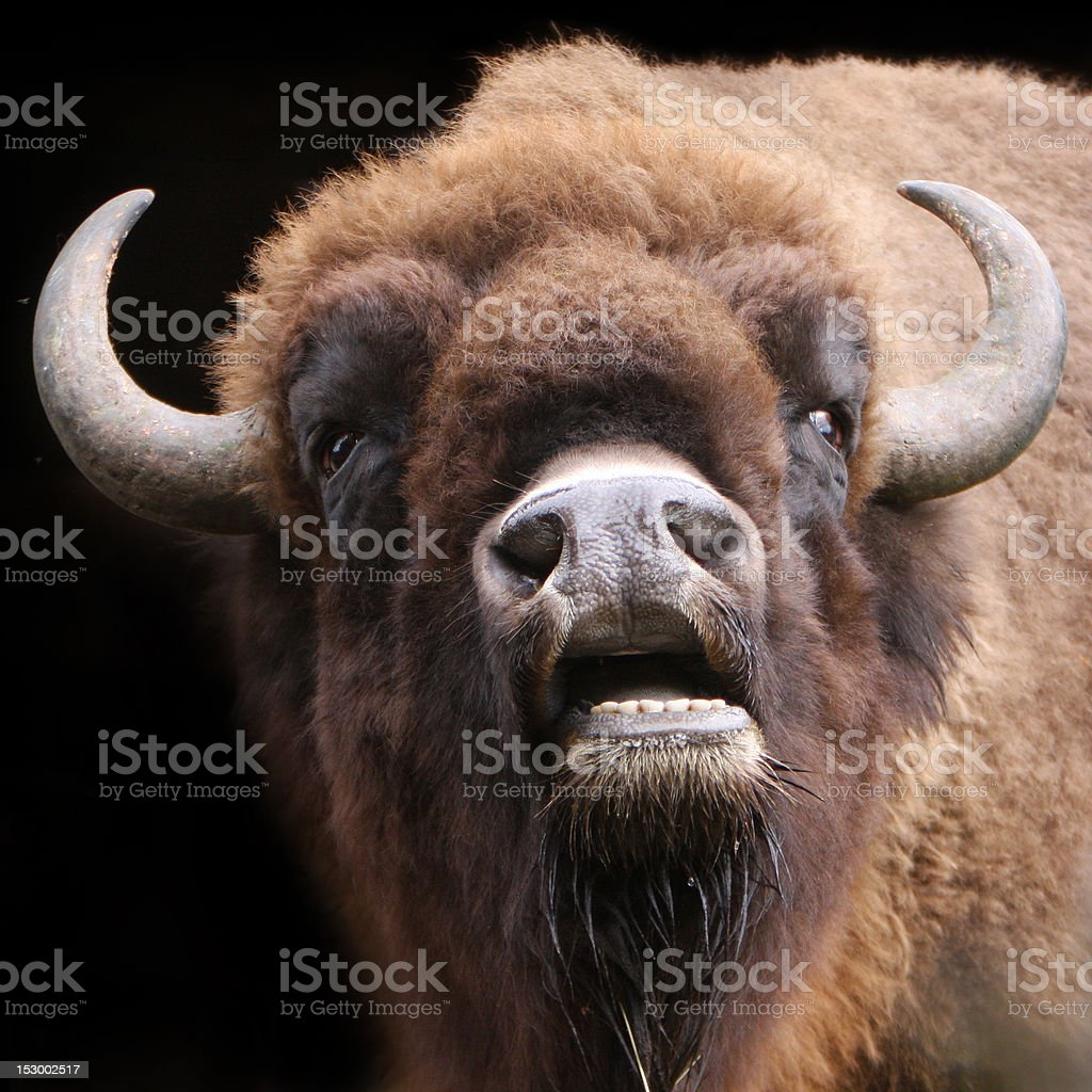 buffalo portrait stock photo