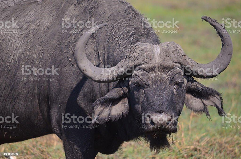 buffalo portrait stock photo