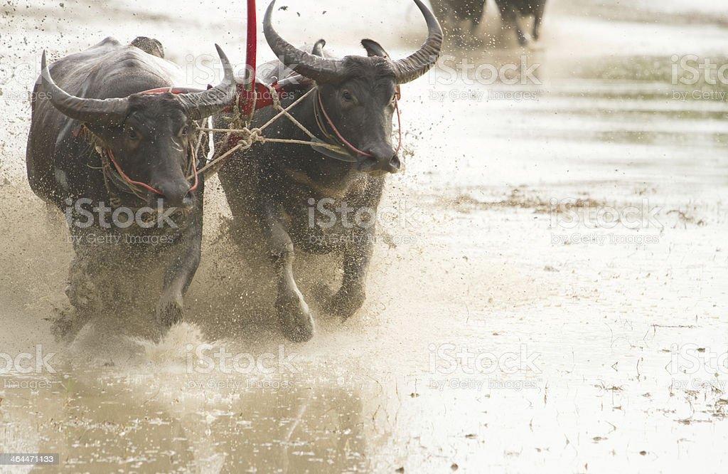Buffalo Racing Festival royalty-free stock photo