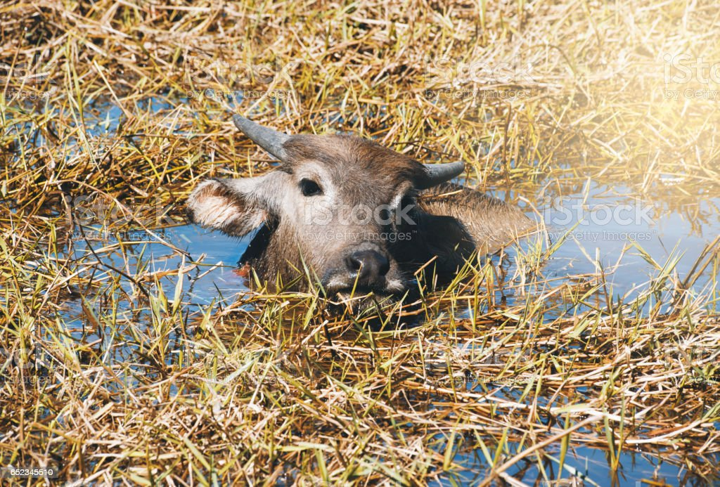 Buffalo resting in swamp mud near the lake. stock photo
