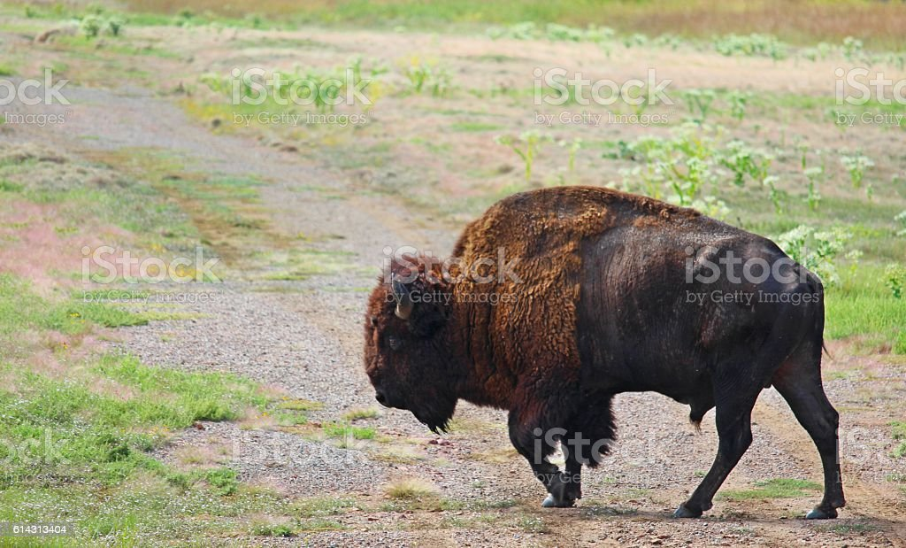 Buffalo roam stock photo