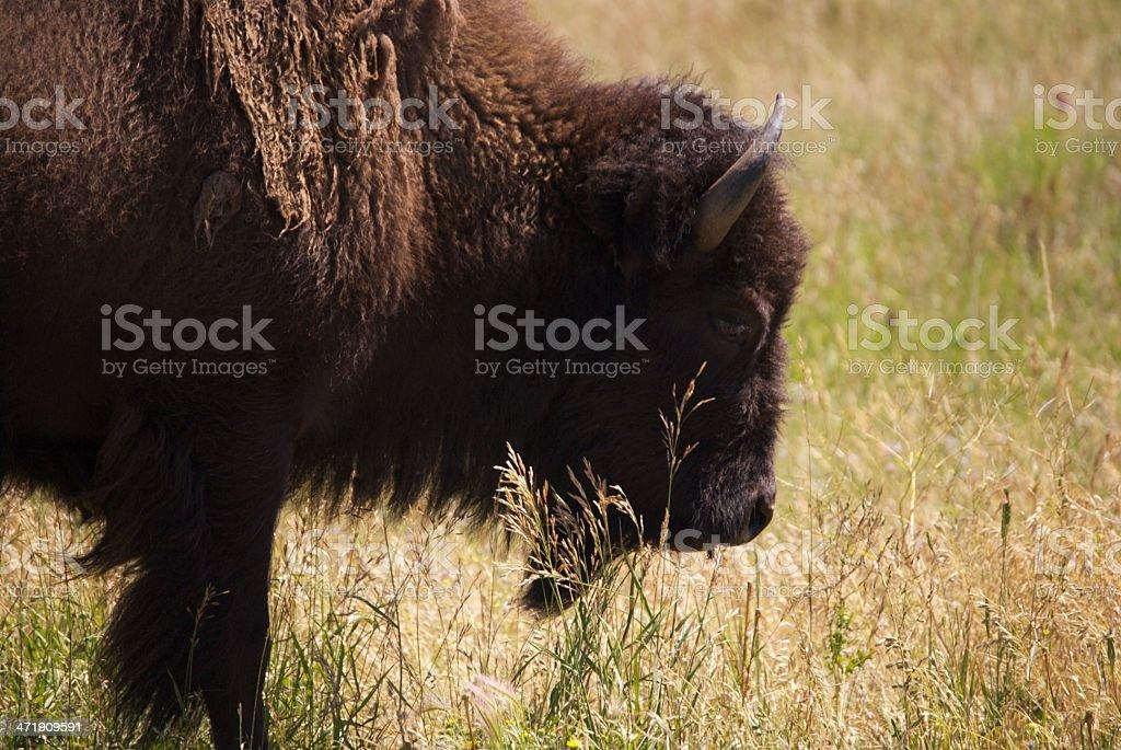 Buffalo Roaming on the Wyoming Range royalty-free stock photo