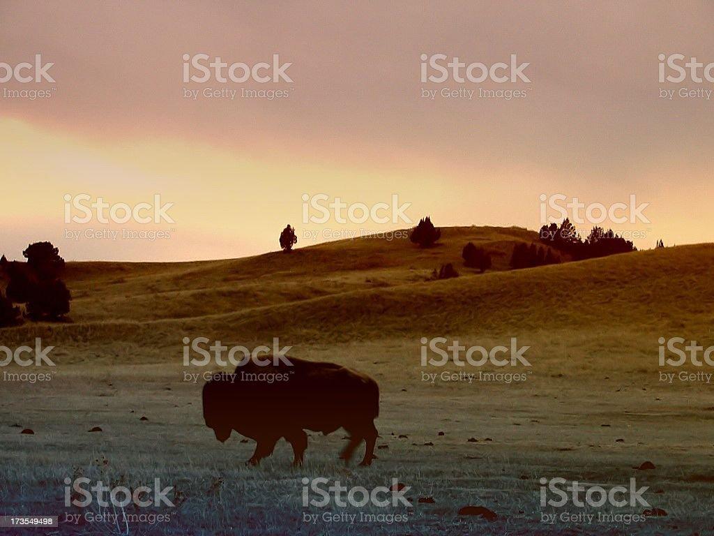 Buffalo Roaming royalty-free stock photo