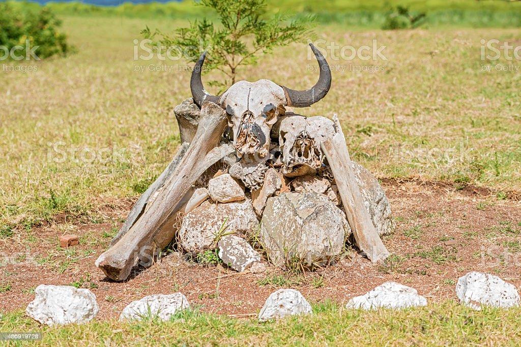 Buffalo skeleton in Kenya stock photo