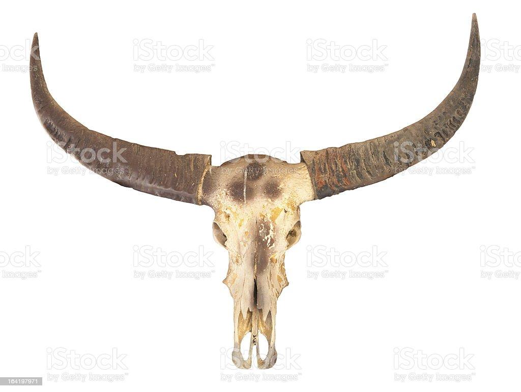 buffalo skull stock photo