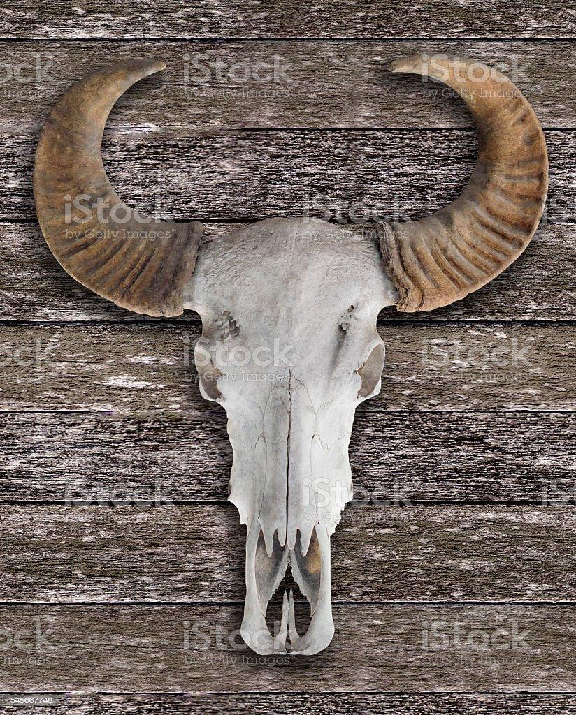 Buffalo  skull with horns on wooden wall stock photo
