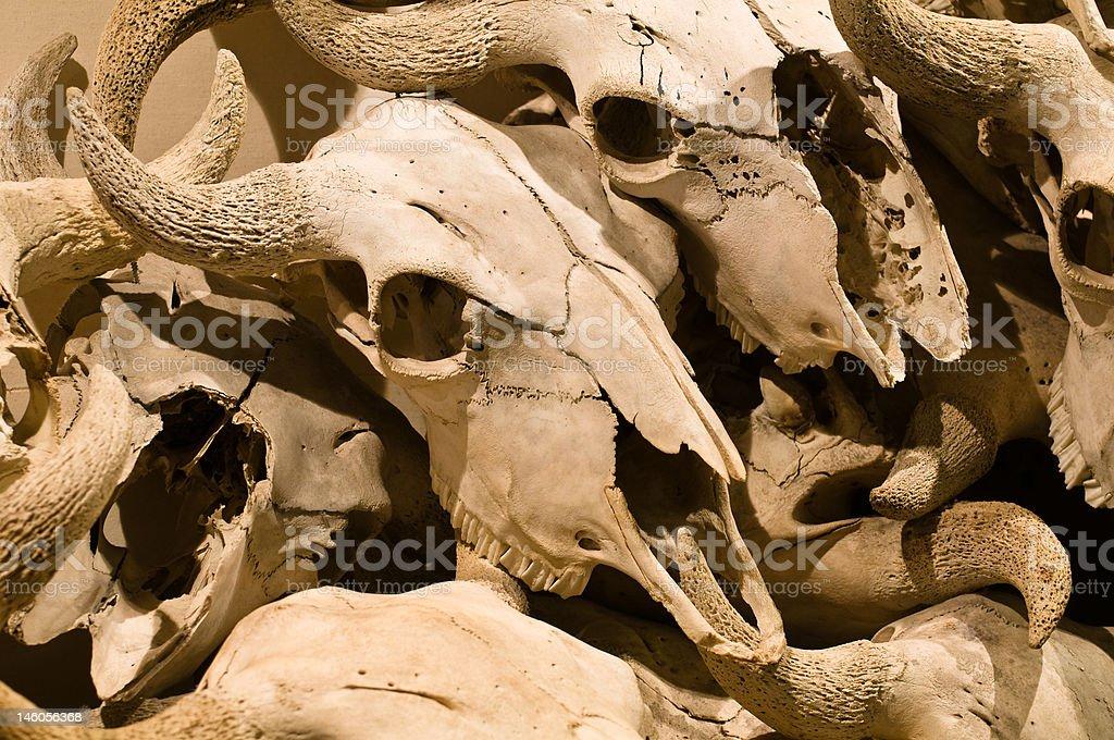 Buffalo Skulls royalty-free stock photo