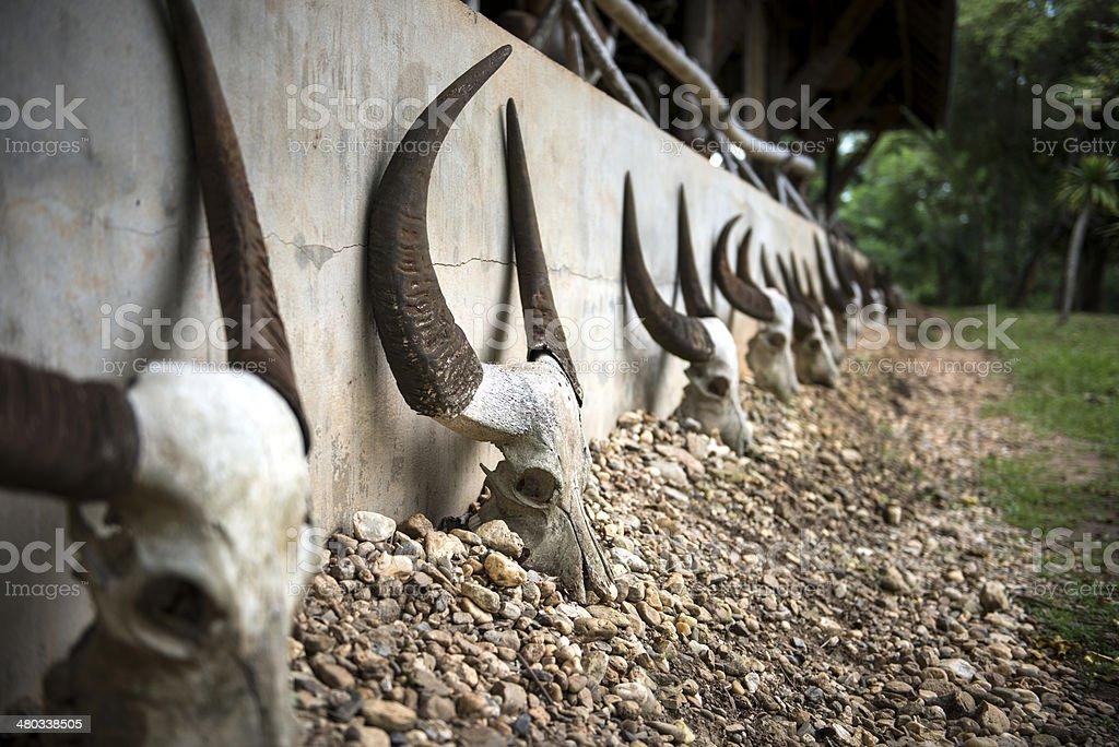 Buffalo skulls. stock photo