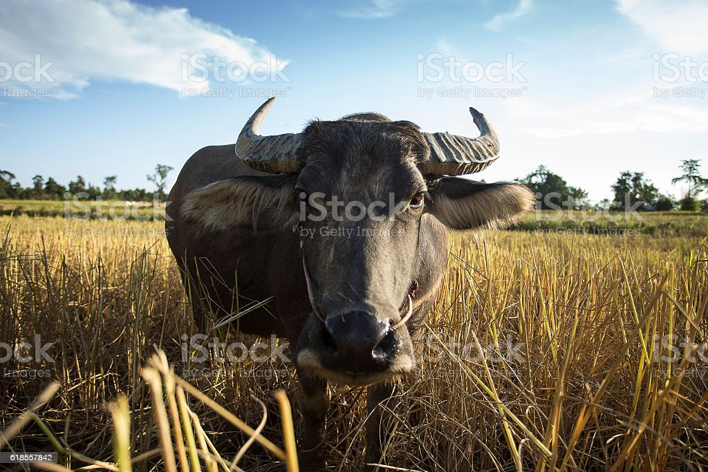 buffalo smiling in rice field. Evening landscape in countryside of Thailand. stock photo
