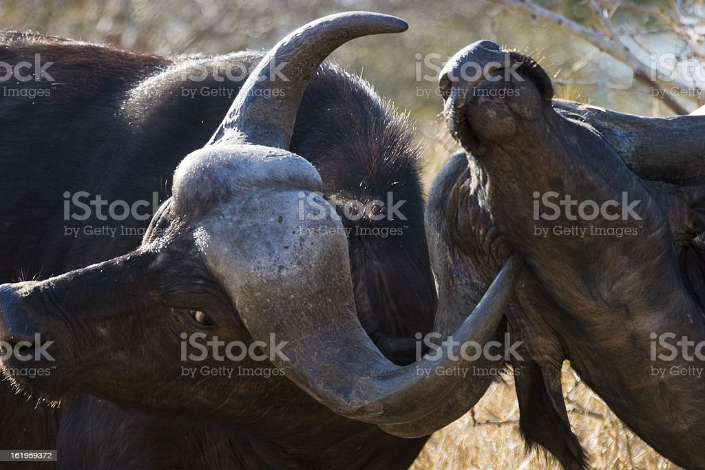 Buffalo Sparring, Mpumalanga Province South Africa stock photo