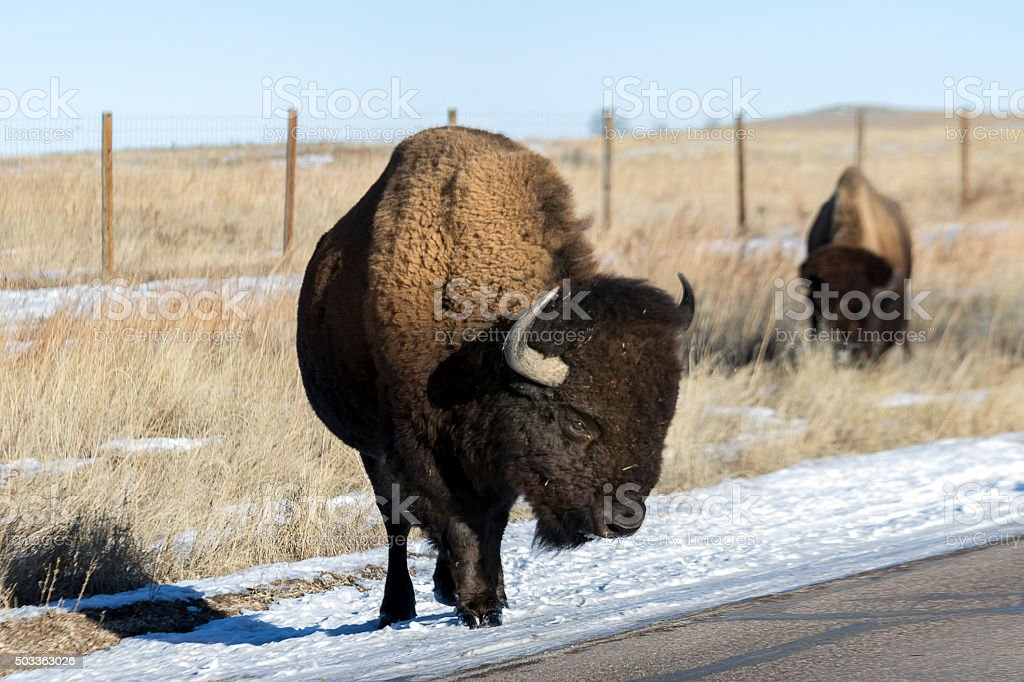 Buffalo standing on the side of the road. stock photo
