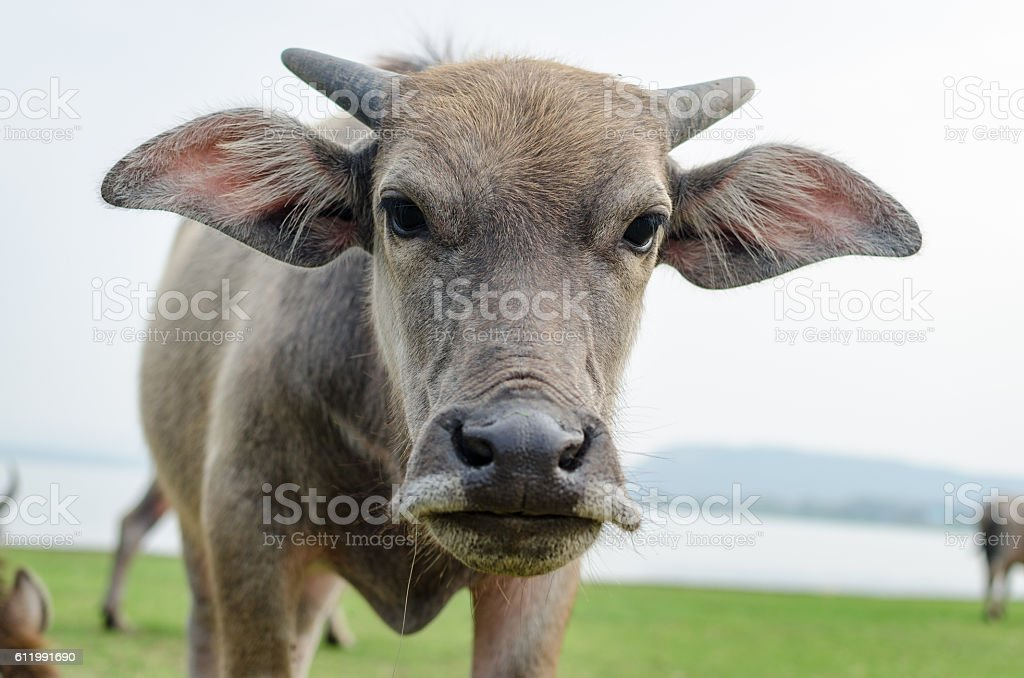 Buffalo Thailand Brown was making angry stock photo